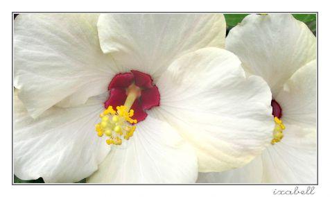 Hibiskus blanco
