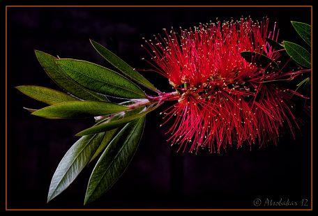 Escobill�n rojo (Callistemon citrinus)