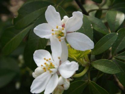 arbusto con flores blancas