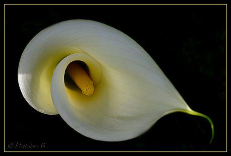 Cala (Zantedeschia aethiopica)