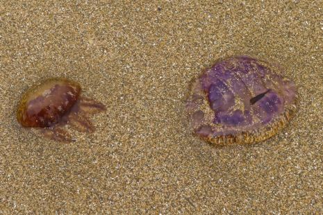 Medusas en Zarautz