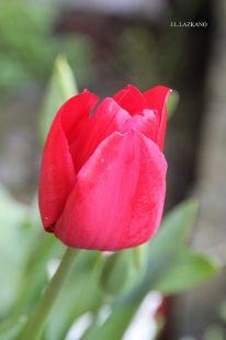Deba.Tulipana.2015-04-05