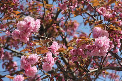 Deba.Udaberri,Cerezo Japones