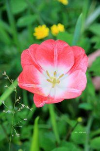 Deba.Tulipan
