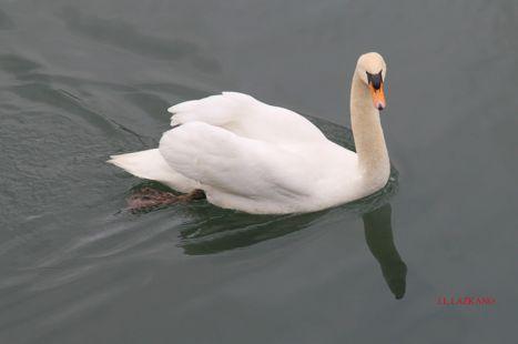 Deba.Cisne