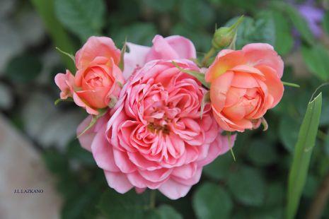 DEBA.Rosas