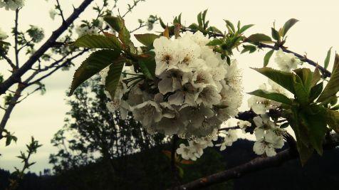 manzano en flor