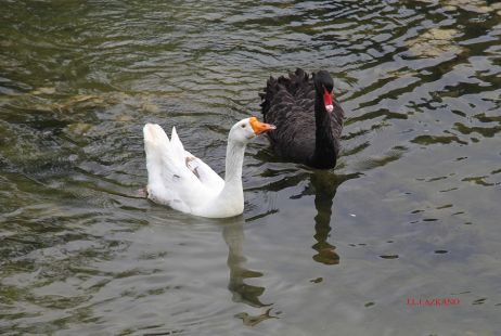 Deba.Ganso y Cisne