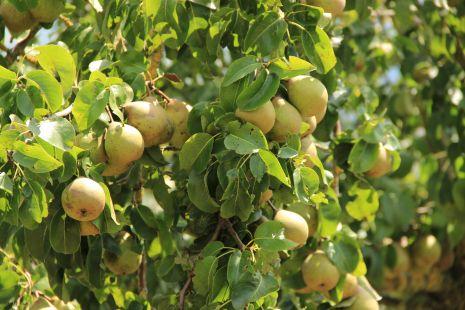 Ricas peras