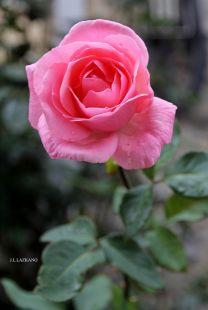 Rosa.Deba