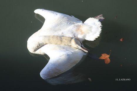 Deba.Cisne muerto.Puerto Deportivo.2015-12-12
