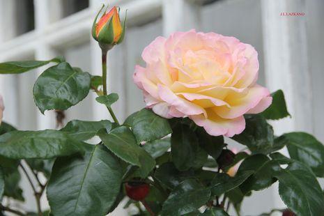 Deba.Udaberria.Rosa