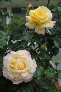 Deba.Udaberria.Rosas