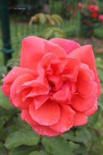 Deba.Rosa